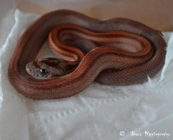 Hypo Stripe **Update by Paulie78