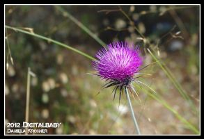 The Thistle by Digitalbaby