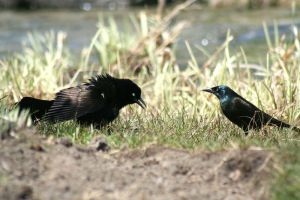Two Grackles Fighitng by blairsgal