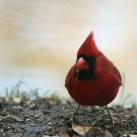Northern Cardinal by sandpiper764