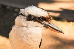 Laughing Kookaburra by kuwinda