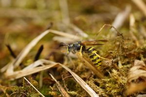 wasp by Hyperborean1987