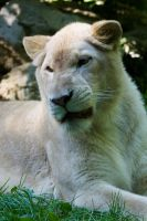 4536 - White lion by Jay-Co