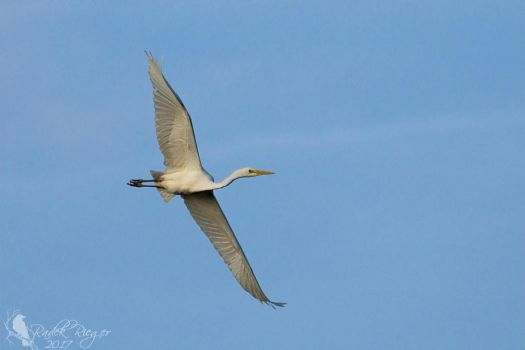 Flying Great egret (Ardea alba) 2 by PhotoDragonBird