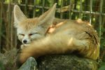 Fennec Stock 16 by Malleni-Stock