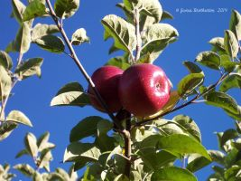 Red Apples On The Tree by jim88bro