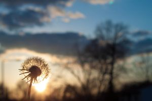A DANDELION IN THE SUN by ERICFERGUSON