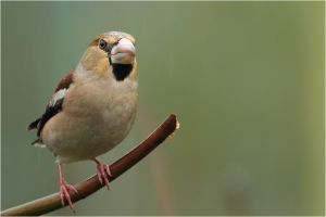 hawfinch by nakitez