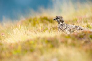 rock ptarmigan by mescamesh