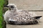 Young herring gull by piglet365