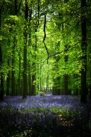 Bluebell Wood by clarkyac