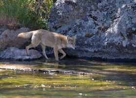 Riverside Coyote by Iamidaho