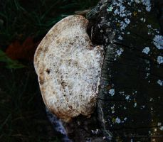 Polypore - Unknown - 3 by ElaineSelene