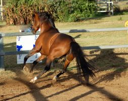 JA Arab bay running lil leap to side by Chunga-Stock