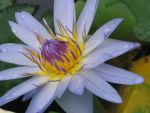 water lily 3 by fa-stock