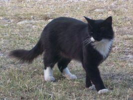 Black and White Cat by Outsider767
