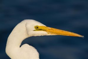 Egret Close Up by bovey-photo