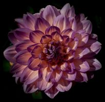 two toned flower by Kaleena127