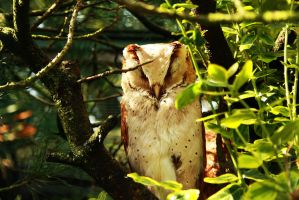 Masked Owl by oliens
