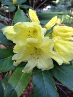 Yellow Rhododendron by The-Serene-Mage