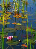 Lilly Pads by BoltBait