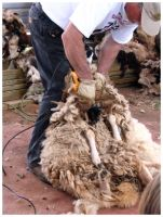 Sheep Shearing by curiousused