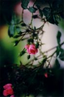Drops on a rose by stine