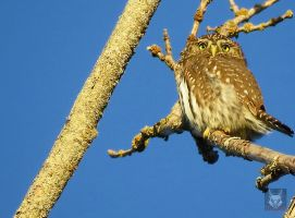 Small Owl On Tree by wolfwings1