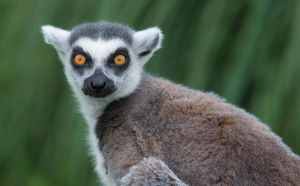 Lemur 7 by tpphotography