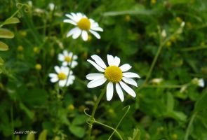 camomile by andi40