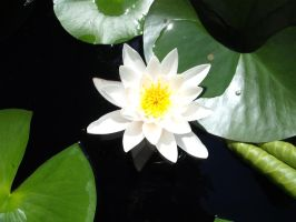 waterlily by x-andRa-x