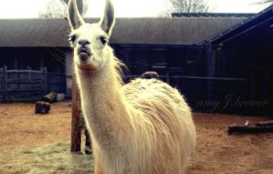 Llama, or Peter Crouch? by amyjls