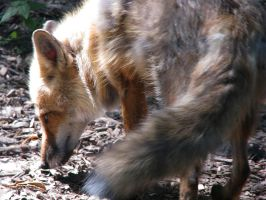 Red Fox Stock 2 by HOTNStock