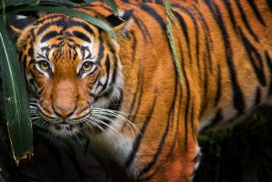 Tigress by LifeCapturedPhoto