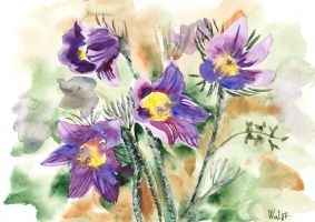 Pasqueflowers by MagdalenaWolff