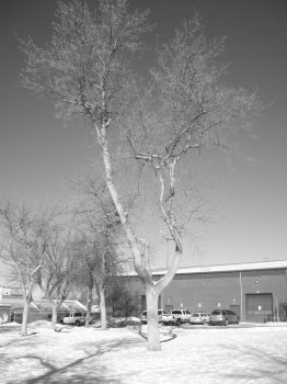 Tree at School by bOB-tHE-hIPPIE