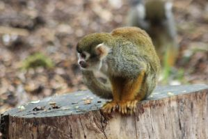 Squirrel Monkey by tammyins