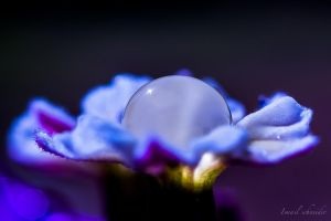 Bougainvillea droplet by isischneider