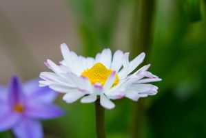 daisy pink tips by lueap