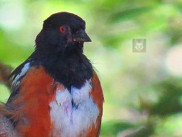 Spotted Towhee by wolfwings1