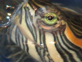 Red Eared Slider 1 by Polly-Stock