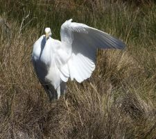 Egret Wing by Treeclimber-Stock