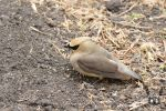 Cedar Waxwing by Hero-of-Awesome