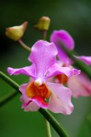 Orchid 03 by josgoh