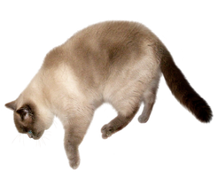 Colourpoint FREE png cat stock by JaneEden