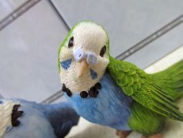 Summit collection green and blue budgie close by Sorath-Rising
