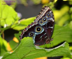 Blue Morpho Butterfly 1 by panda69680102