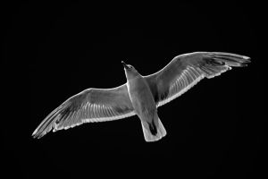 Inflight 2 BW by Mackingster