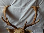Fallow antler stock 4 by ForTheLoveOfAHorse