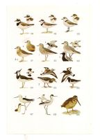 Antique birds print 6 by OMEGA86